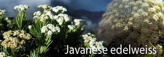 Javanese edelweiss grows in the National Park Bromo-Tengger-Semeru
